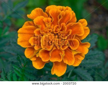 Orange Marigold Flower