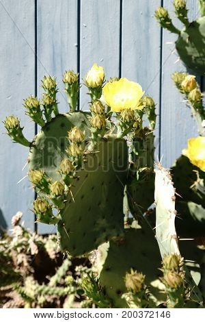 The close-up of a cactus Opuntia engelmannii with yellow flowers in front of a plank wall.