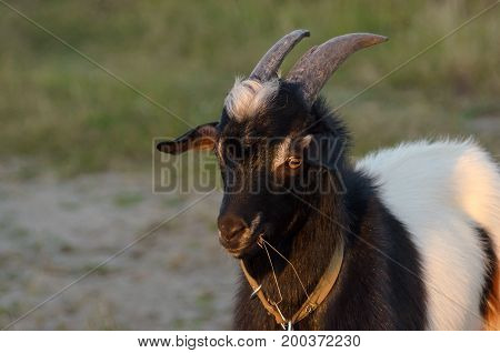 Goat on green grass background. Farm concept.