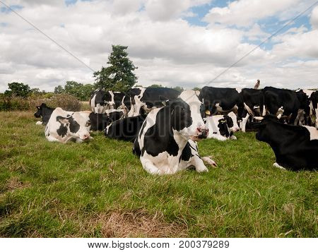 Group Of Bovine Steer Face Up Close Black And White Cow
