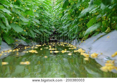 Farmer Harvest On Cucumber Field
