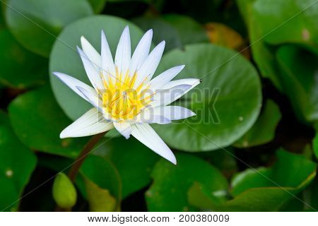 close up of white lotus flower in garden
