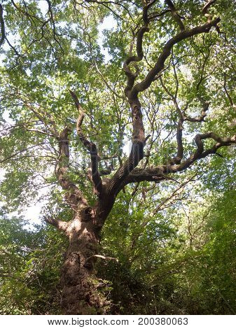 Over Heard View Of Oak Tree Lush And Vibrant On A Summer's Day In The Forest