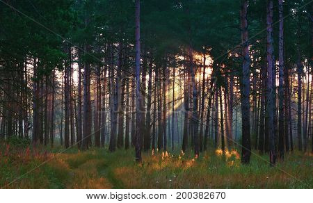 Sunrays shining through the trees to the path and grass in the summer pine forest. Selective focus.