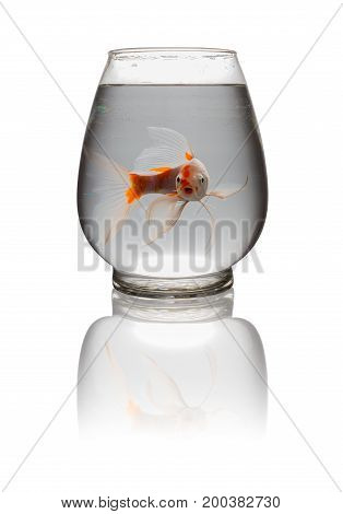 orange and white Koi carp looking at camera with mouth opened in a glass tank on white with clipping path