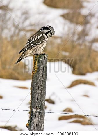 Hawk Owl sitting on fence post in winter hunting