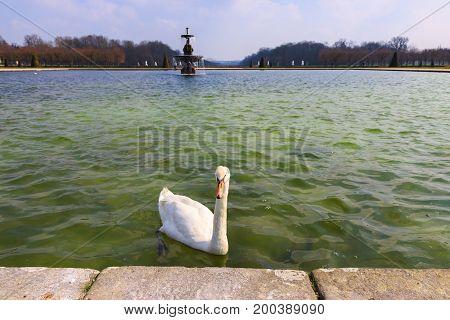 Swan with orange beak swim in a fountain