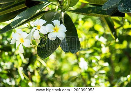 white, green, flowers, flower, background, leaves, spring, beautiful, nature, narcissus, leaf, garden, hawaii, vector, abstract, floral, blossom, plant, petal, tree, plumeria, beauty, season, summer, closeup, outdoors, natural, growth, gardening;