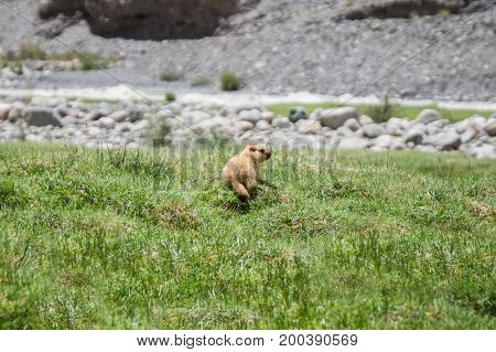 Marmot around the area near Tso Moriri lake in Ladakh, India. Marmots are large squirrels live under the ground