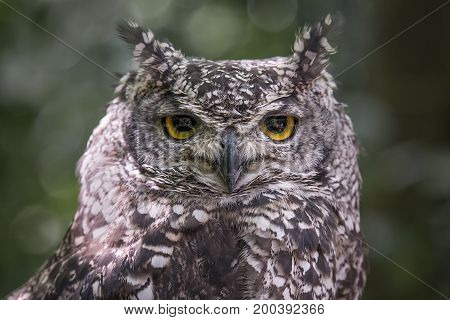 Close up head portrait photograph of an African spotted owl Bubo africanus staring directly forward at the camera