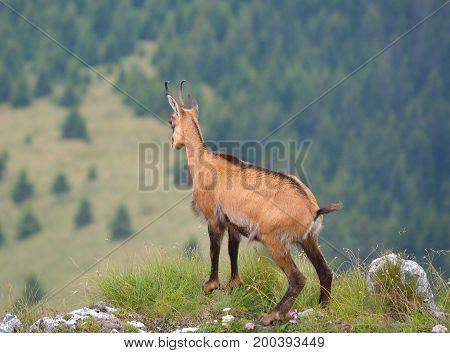 Chamois Rupicapra rupicapra in natural habitat in mountains