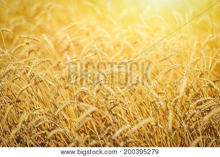 Background Of Yellow Wheat