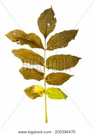 Autumn Maple Branch With Leaves Isolated