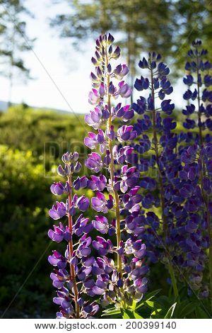 Close up blooming lupine flowers, Bjrneparken, Norway