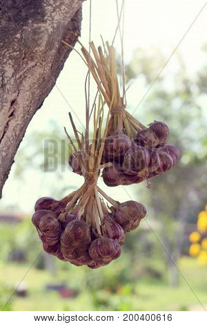 Two bundles of garlic heads are dried on a tree in the garden / retro harvesting of vegetables