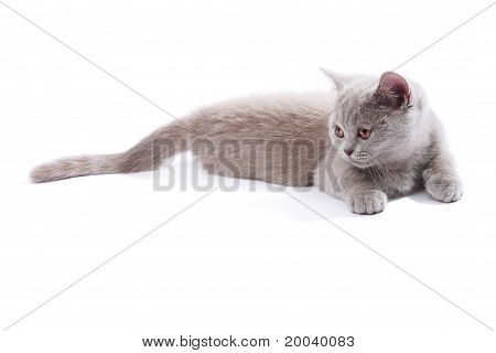 British kitten isolated on the white background poster