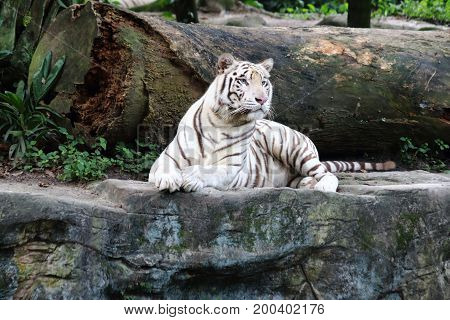 White tiger cautiously looking into the far