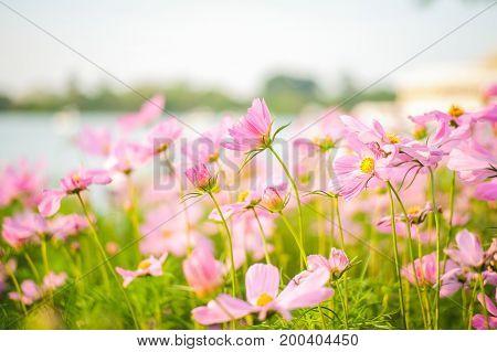 Cosmos bipinnatus flowers blooming in the garden.