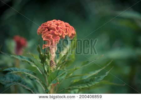 Flower comb celosia orange color on blurred background of green grass
