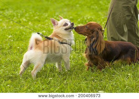 Two small dogs are introduced sniffing each other. Concept: cute, home, friend, love, affection, kindness, care. Space under the text. 2018 year of the dog in the eastern calendar