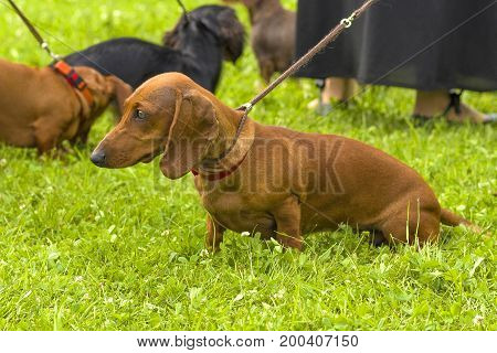 Typical Dachshund Standard Red, green background. Space under the text. 2018 year of the dog in the eastern calendar Concept: parodist dogs, dog friend of man, true friends, rescuers.