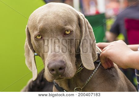 Weimaraner dog looking at the viewer. Concept: friend, dobrata, power, love, loyalty, protection, care. Space under the text. 2018 year of the dog in the eastern calendar