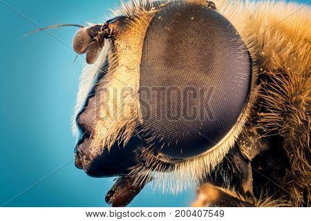 hoverfly or the drone fly (Eristalis tenax) macro photography
