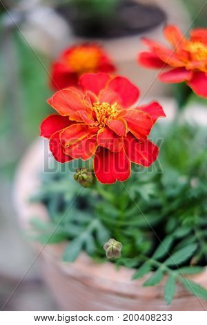 Fresh orange yellow autumn marigold flower in the clay flower pot latin name Tagetes. Floral background