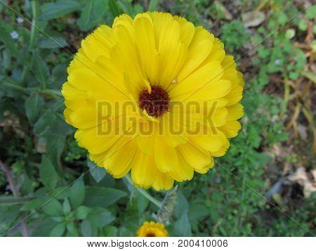 A Dalia the flower has a tide of petals that reminds a lion of a lion