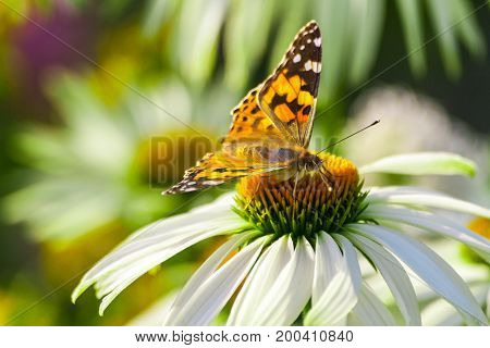 day butterfly from the family of the nymphalides is a kind of admiral, sitting on large garden daisy, close-up muzzle insect, white long petals and yellow flower core, background are similar plants,
