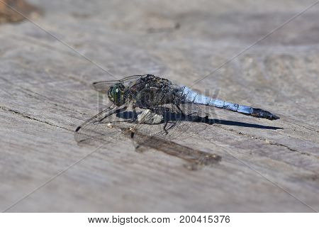 black tailed skimmer resting on woos plate