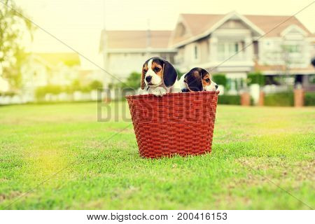 Happy cute young Beagles playing in garden