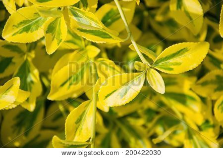 Fortune's Spindle (euonymus Fortunei) In Garden. Detail Of Emerald Golden Leaves Of Wintercreeper.