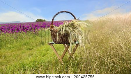 basket with grain on stool in front of cornfield