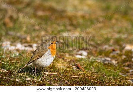 Robin sitting in moss and grass on the ground, copy space on top and right side, Jomfruland in Norway