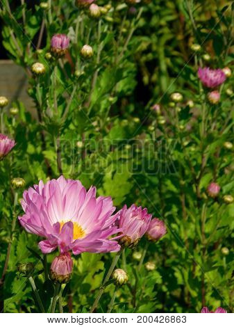 Pink daisies in a green grass illuminated by the sun rays