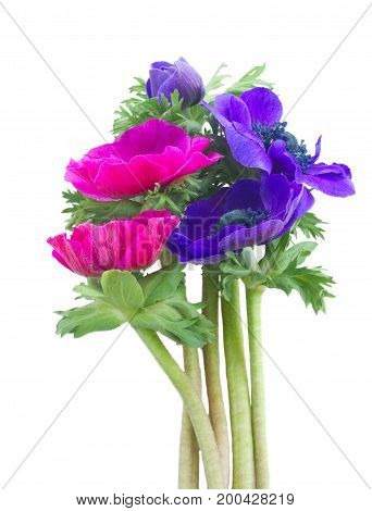 Blooming pink and blue Anemones flowers posy isolated on white background