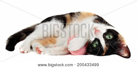 Cute Kitten Playing Pink Clew Of Thread, Isolated On White Background.little Cat
