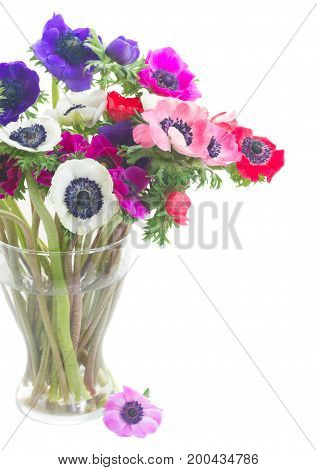 colorful Anemones and roses flowers bouqet in glass vase close up isolated on white background