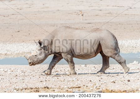 A black rhinoceros Diceros bicornis also called hook-lipped rhinoceros with horns trimmed walking at a waterhole in Northern Namibia