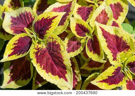 Red-yellow leaves of the Coleus Blum. An ornamental plant with beautiful leaves. The shape and edges of the leaves resemble nettles. The leaves are variegated and multicolor patterns.
