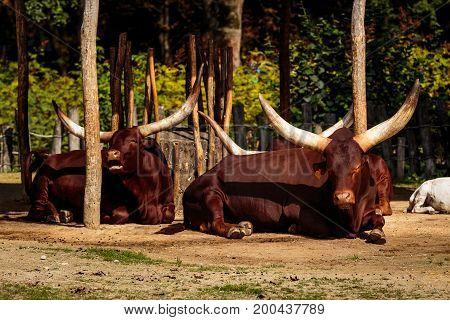 Planckendael zoo Mechelen Belgium - AUGUST 17 2017 : Watusi lying down