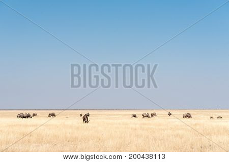 A herd of blue wildebeest also called brindled gnu Connochaetes taurinus between grass in Northern Namibia