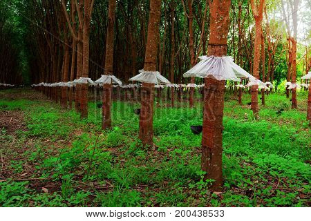 The Trees Wear Mini Skirt ,the Rubber Trees With Rainproof Plastic Sheet And Sun Light In Morning