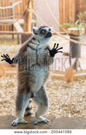 One ring tailed lemur on brown stone plate