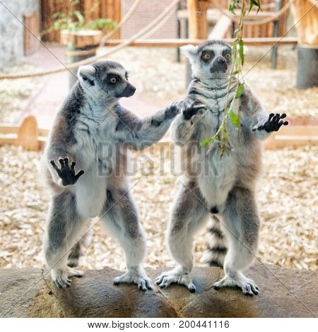 Two ring tailed lemurs on stone plate with a green branch