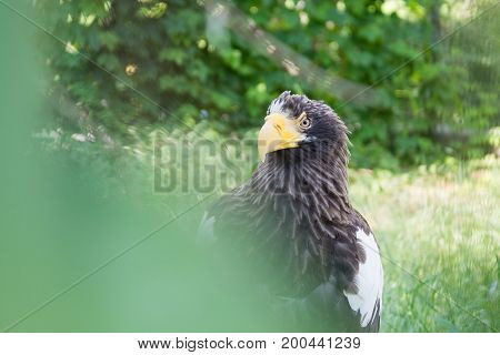 Black Kite in the afternoon sun, in wild