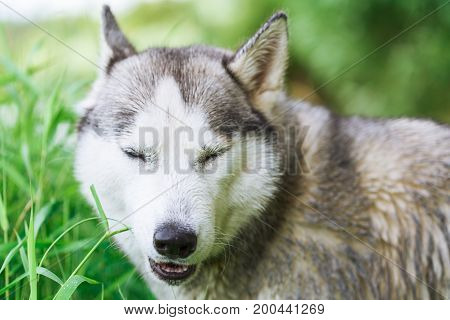 Portrait of Siberian Husky in the summer forest