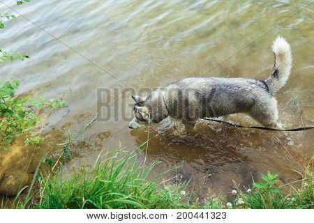 Siberian husky floats in the lake. dog