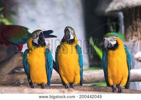 Closeup image of yellow and blue macaw ara chloropterus birds standing on wood perch